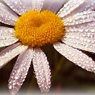 Daisy Dew by vigor