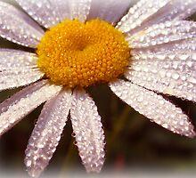 Daisy Dew by vigor