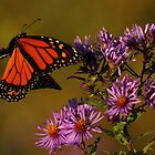 Monarch approaches New England Aster   by Kane Slater