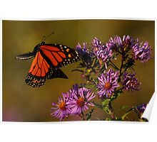 Monarch approaches New England Aster   Poster