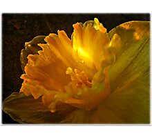 ~ Daffodil ~ Photographic Print
