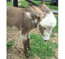 Baby Donkey Photographic Print