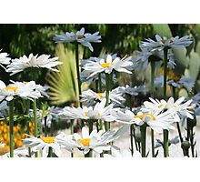 A Garden of White Daisy Flowers Photographic Print