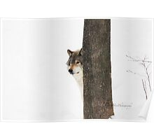 Hide and Seek! - Timber Wolf Poster