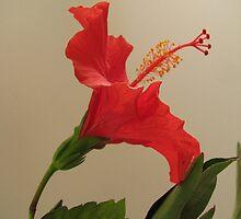 Sideward Glance - Hibiscus set by Gloria Abbey
