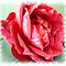 Valentine Rose or Flower for This & That Challenge