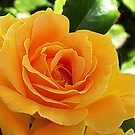 A special kind of Beauty -State Rose Garden Vic. by EdsMum