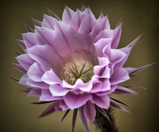 A Big Cactus Flower by George Kypreos