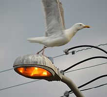 Seagull Taking Off | Center Moriches, New York  by © Sophie W. Smith