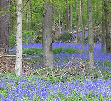 Bluebell Wood In Wiltshire by Denise Martin