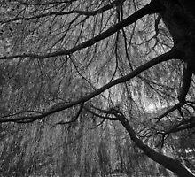 Casuarina or better known as She oak by Bernard (Ben)  Bosmans