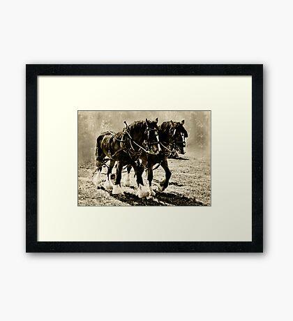 Shire Horses Framed Print
