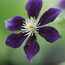 Jack Mani Clematis by Betty Maxey