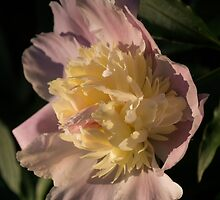 Brilliant Spring Sunshine - a Showy Pink Peony From My Garden by Georgia Mizuleva