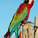 Red & Green Macaw by Robert Abraham