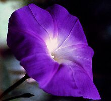 Ipomoea or Morning Glory by Andrew  Bailey