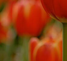 Red Tulips by C1oud