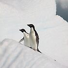 Adelie Penguins by bvl1981