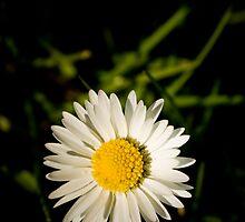 Spring Daisy  by Magicbenja