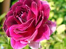 Beautiful maroon rose by Antionette
