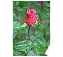Long Stem Single Pink Rose Poster