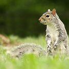 Eastern Gray Squirrel by Alina Kurbiel