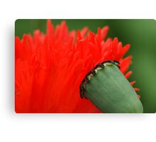 interview of a poppy Canvas Print