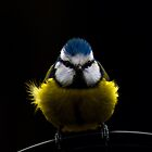 Blue Tit by Kevin North