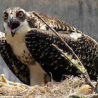 Mama Osprey protecting her nest by Kristy  Dorris