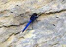 Blue dragonfly in her transparent dress! by Elizabeth Kendall
