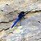 Dragonflies, Damselflies & Mayflies of Africa | Naaldekokers, Waterjuffers & Kokerjuffers van Afrika