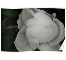 peony unfolding Poster