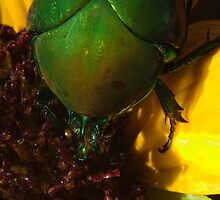272 Green Shield Stink Bug by ptosis
