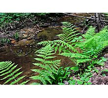 Fern Fronds Along the Creek Bed Photographic Print