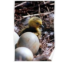 Baby swan in the nest..I wish I could fly Poster