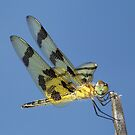 Beautiful Halloween Pennant dragonfly against the blue sky. by William Brennan