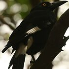 pied currawong by paulinea