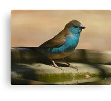 Blue Waxbill, South Africa Canvas Print