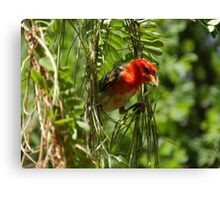 Red-headed Weaver, South Africa Canvas Print