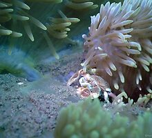 Porcelain Crab, inside an Anenome, Mucky Pirates Bay, Pemuteran, Bali by Paul M Turley