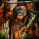 Urban the Orangutan, Quite a Character by Xcarguy