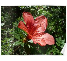 Single Red Azalea - Kinney Garden - © 2010 Poster