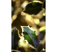 Holly Leaf Photographic Print