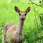 Innocent Fawn by Alyce Taylor