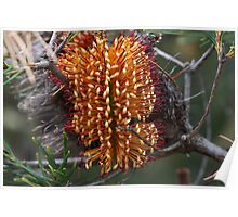 Banksia spinulosa Poster