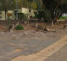 A Mob of Kangaroos by Chris Chalk