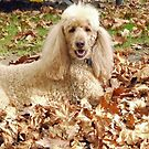 Rylie The Standard Poodle Playing In the Autumn Leaves by Trish Loader