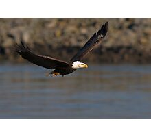Bald Eagle in Flight Photographic Print