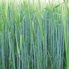 Blue/green grass by jackie martino