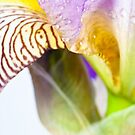Iris Macro 1 by doorfrontphotos